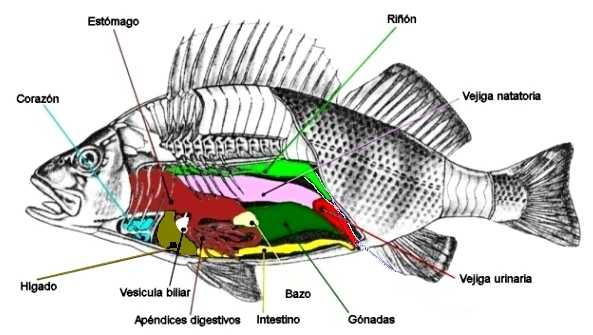 estructura pez:
