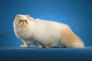 kucing himalayan