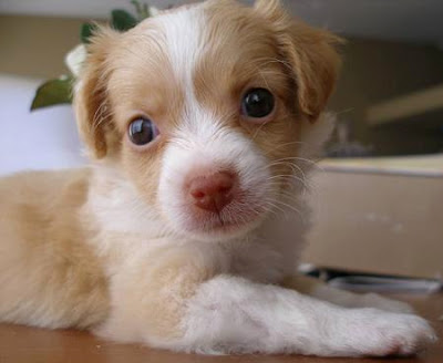 Adorable Chihuahua / Terrier puppy