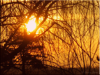 sunrise through the willow