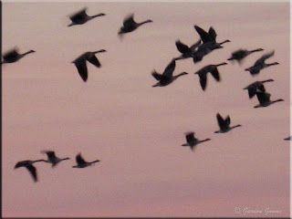 geese flying overhead at sunset