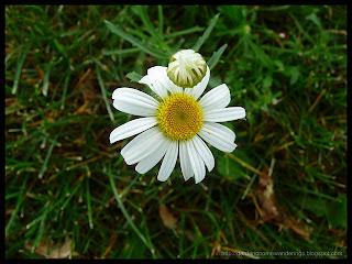 rogue daisy