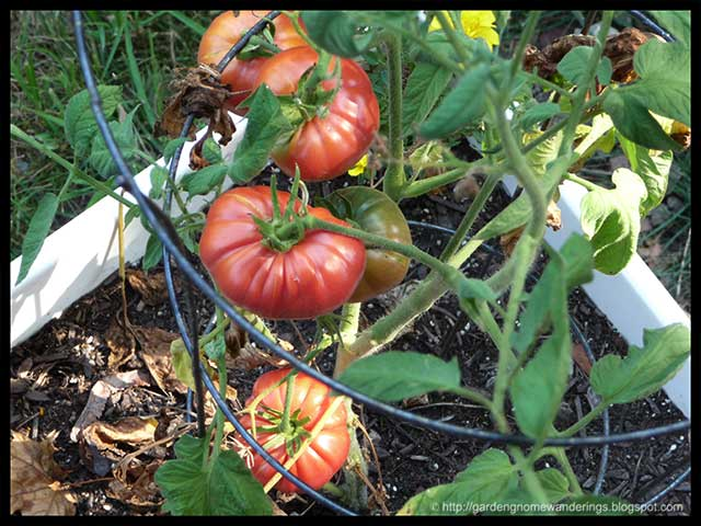 How do you grow brandywine tomatoes?