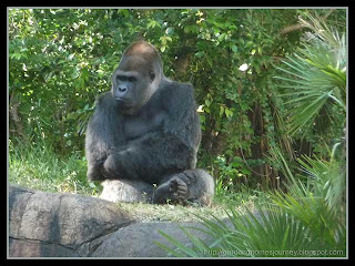 grey back gorilla