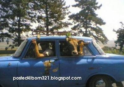 Bawa Lembu Guna Kereta !