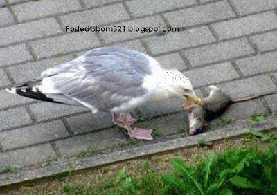 Burung Telan Tikus !