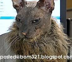 Haiwan Pelik Kacukan Kucing, Singa Dan Babi !