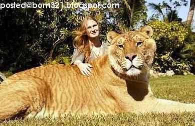 Harimau Terbesar Di Dunia ! | Blog BOM321
