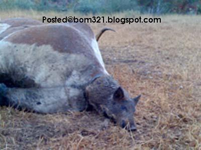 Lembu Beranak Babi!