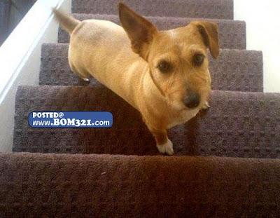 Anjing Ini Sedang Naik Atau Turun Tangga ? | the dog is up or down stairs