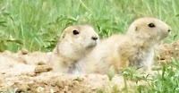 A Pack of Prairie Dogs