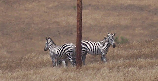 Californian Zebras