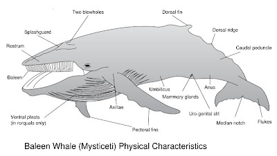 origination and characteristics of the humpback whale Aerial and acoustic marine mammal detection and localization on navy  consisted primarily of humpback whale calls and sperm  call characteristics,.