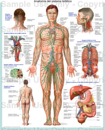 ¿Cuál es el músculo más fuerte del cuerpo? | Blogodisea