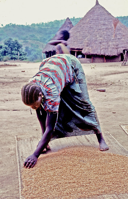 drying rice at Sokurella (Northern Province)