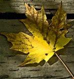 Folha de Maple - Canadá