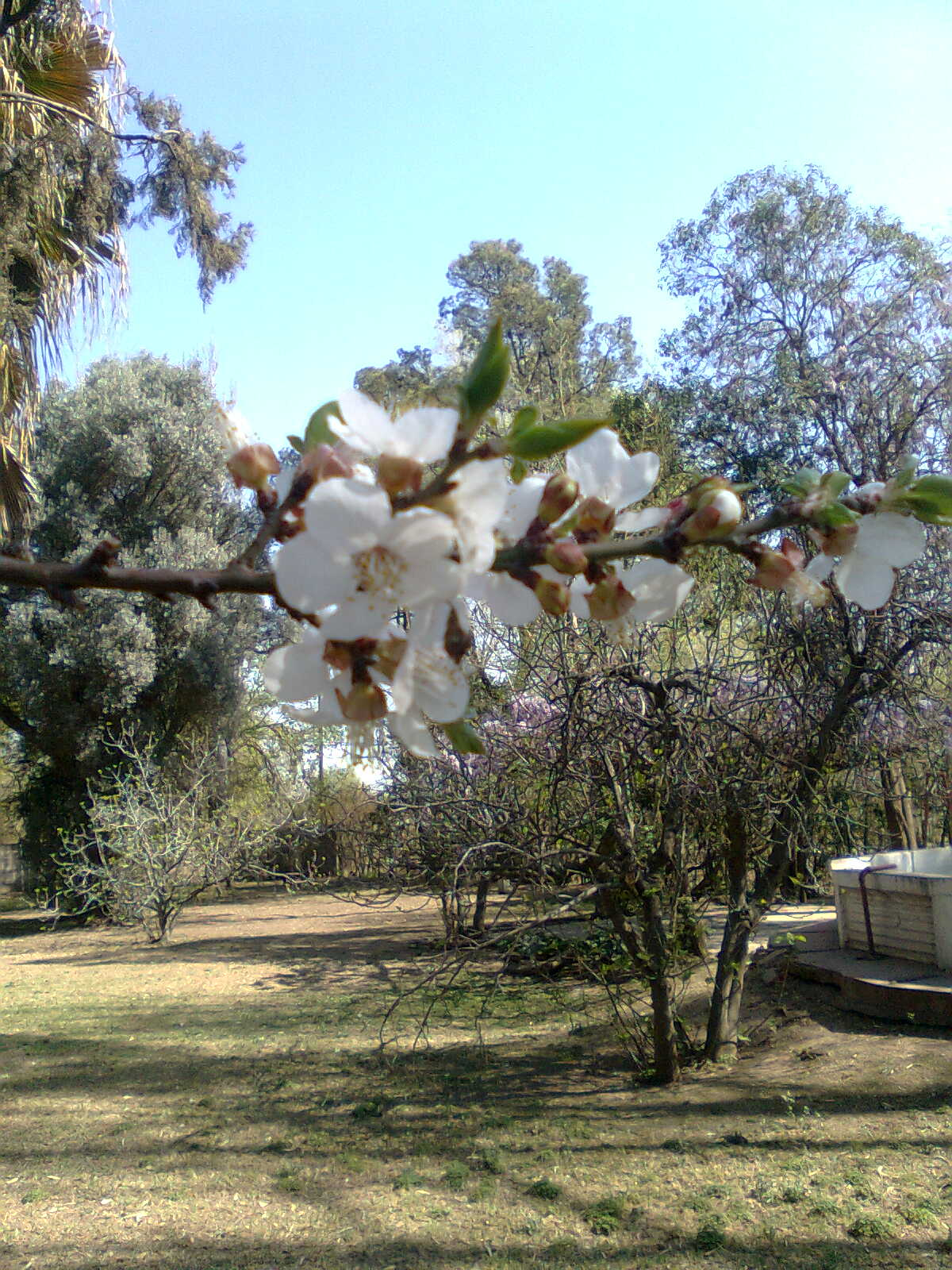 """Damasco"" Prunus armeniaca"