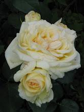 the last rose of sommer
