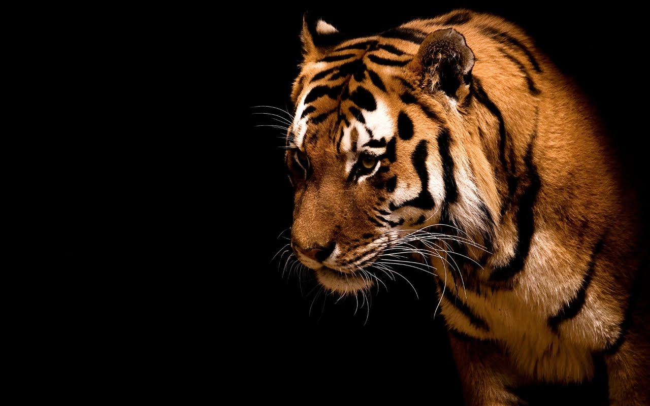 Cool desktop animali felini magnifica tigre su for Sfondo desktop nero
