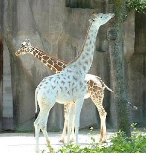 girafes albinos