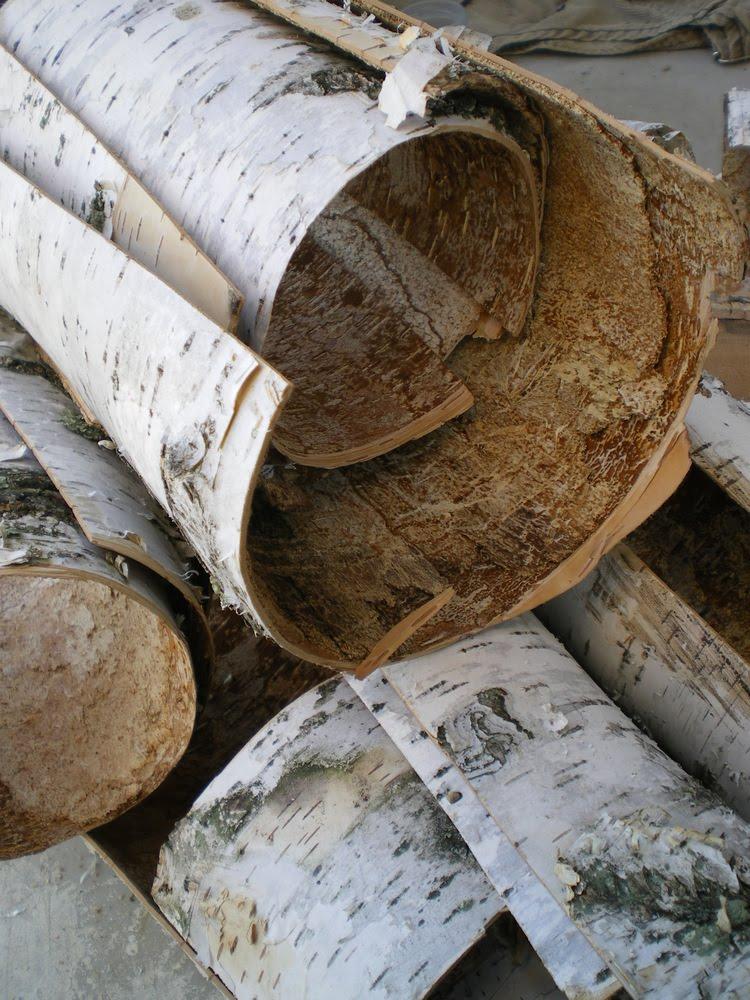 Lil fish studios gathering birch bark for Berch wood