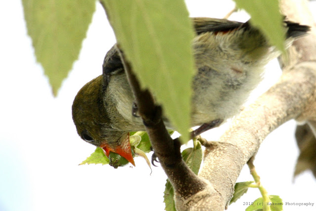 Scarlet-headed Flowerpecker Juvenile 5