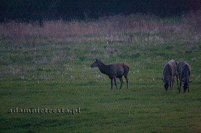 zdjęcia zwierząt - jelenie