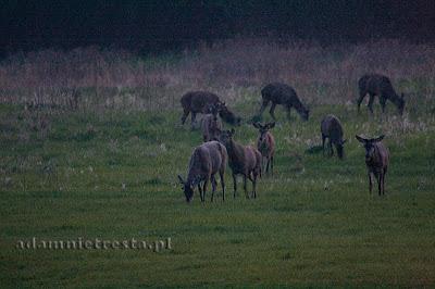 zdjęcia przyrodnicze - jelenie