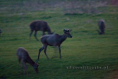 zdjęcia przyrody - jelenie