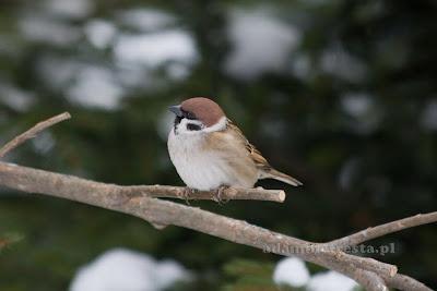 zdjęcia ptaków - wróbel