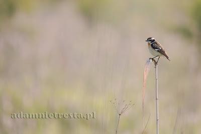 zdjęcia ptaków - pokląskwa