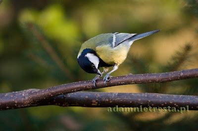 zdjęcia ptaków - sikorka