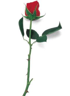[rosese.jpg]