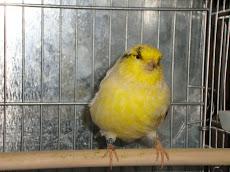 Gloster sem topete amarelo nevado pintado