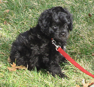 mini goldendoodle puppies for sale. mini goldendoodle puppies