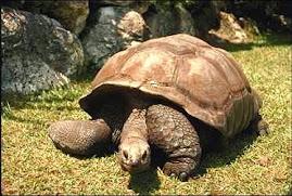 tortuga de Bisagra