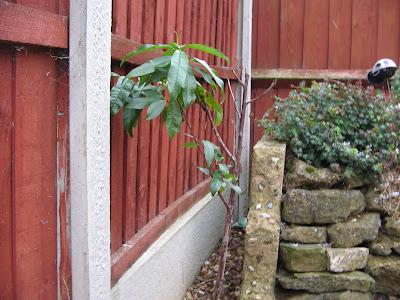 dwarf nectarine tree