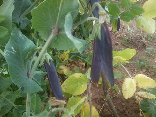 purple peas