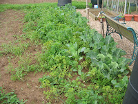 weedy brassica bed