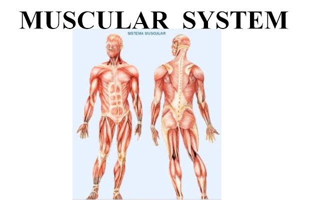 Skeletal And Muscular System Essay