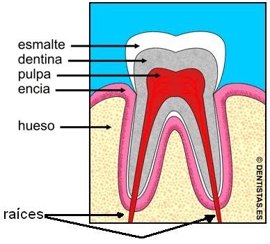 Conocimientos variados c mo est n formados los dientes for Como estan formados los suelos