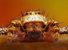 Spider - Fusco marginatus