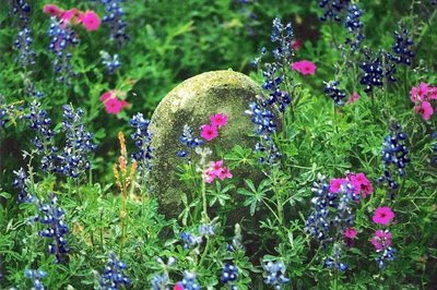 Bluebonnets and Wild Phlox in the Hugh Wilson Cemetery, Tanglewood, Lee County, Texas :: Photo by BeNotForgot