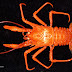 Australian Researchers Discover New Squat Lobsters