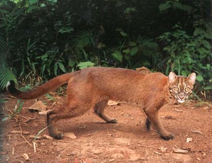 000 m dpl hidupnya tidak sesoliter jenis kucing yang la