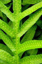 Hawaiian Leaf