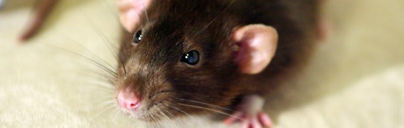 Råttpojkarna på Trozelligatan