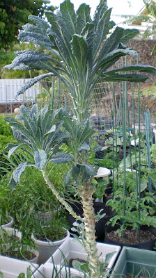 a kitchen garden in kihei maui growing heirloom kale in kihei. Black Bedroom Furniture Sets. Home Design Ideas