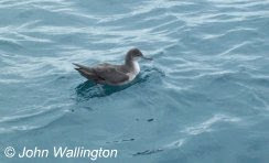 Balearic Shearwater, 8nm South of Seaton, 18/07/2010