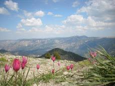 Çukurbağ dağ laleleri